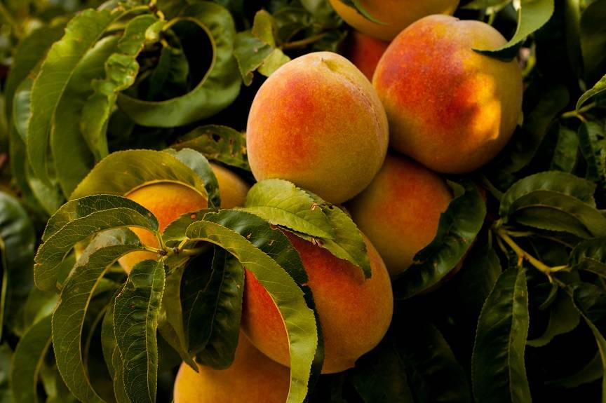 Are Persimmons, Peaches and Plums Good For My Dog?