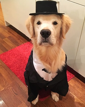 golden retriever halloween costume source halloween safety tips for your doggy